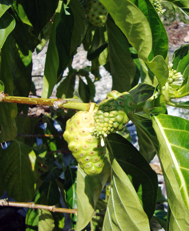 The Dreaded Noni Fruit