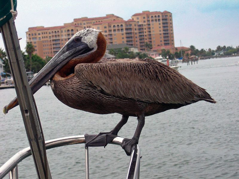 Pelican on the Bow