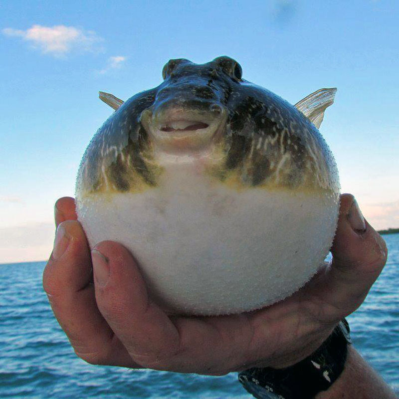 Puffed Up Puffer Fish