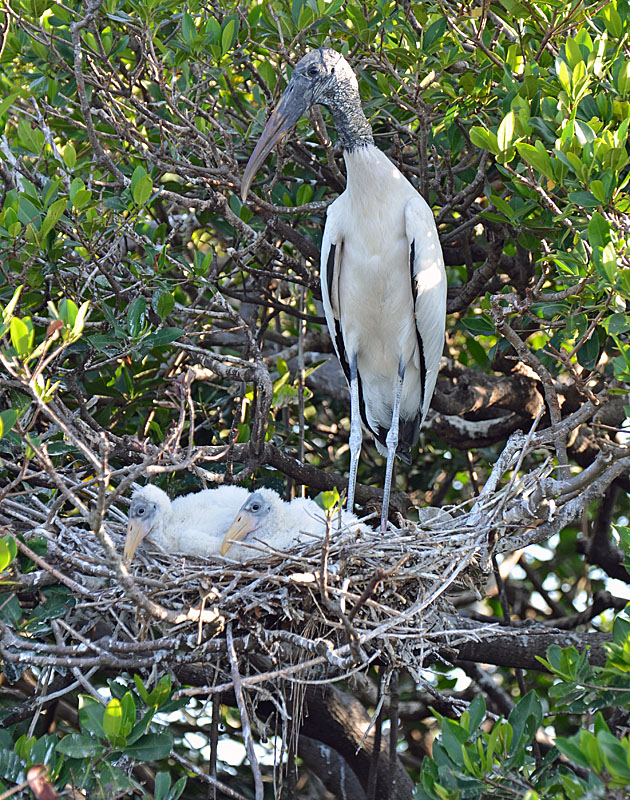Wood Stork and Babies